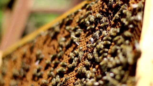 Bees and Honey in the Hive video
