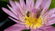 Bees and water lily video