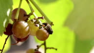 Bees are eating the grapes. video