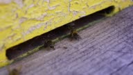 Bees at hive video
