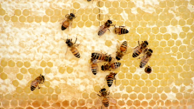 Bees Building Honeycombs video