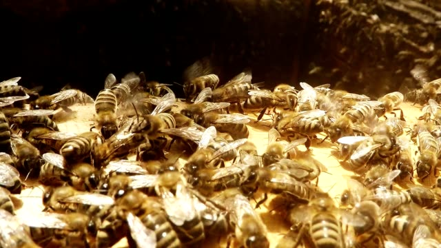 Bees Crawl Wag Stir Antennae on Opened Hive Close up video