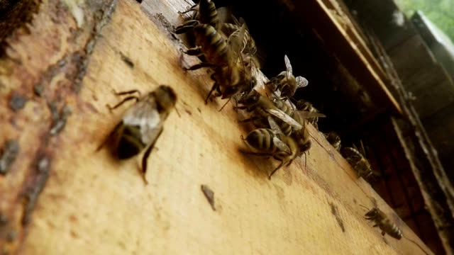 Bees Creep And Speak With Bee Language on Opened Hive Close up video