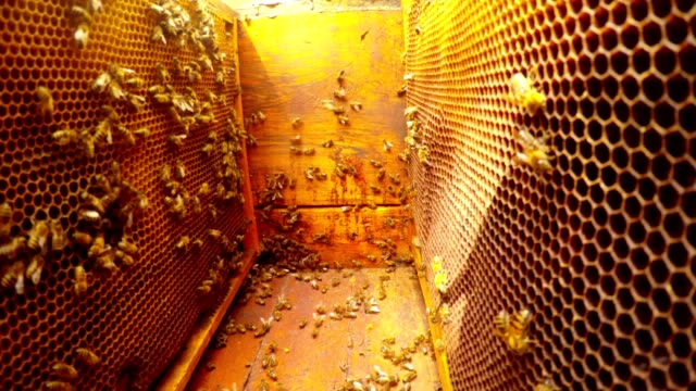 Bees Creep in Hive Camera Between Frames For Honeycombs Close up video