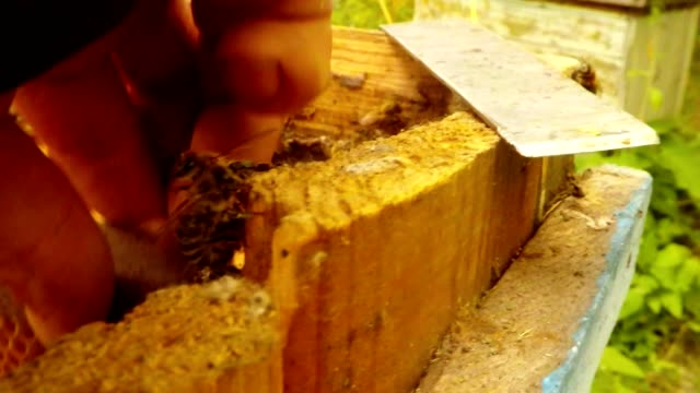 Bees Creep on Wall of Hive Hand Takes Frame For Honeycombs Macro video