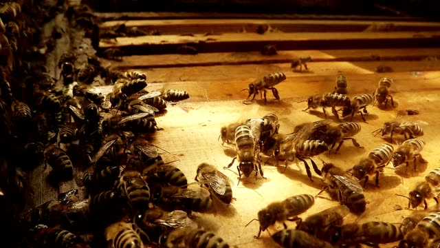 Bees Danse Flaps on Opened Hive And Frames For Honeycombs video