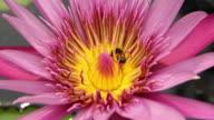 Bees fighting on pink lotus flower. video