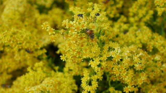 bees find nectar in yellow flowers video