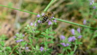 Bees gathering honey from thyme flowers video