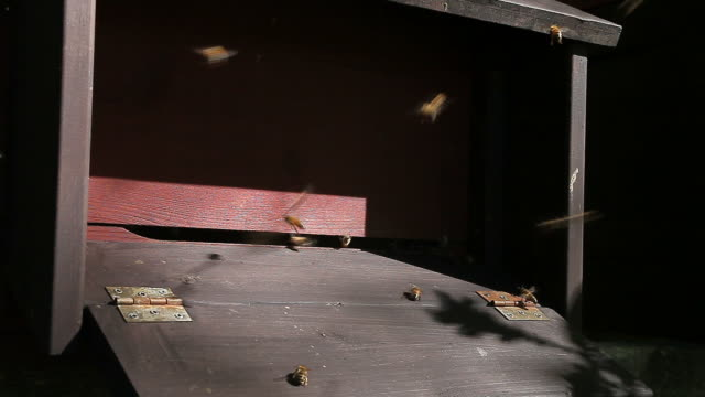 Bees go in and out of the beehive entrance video