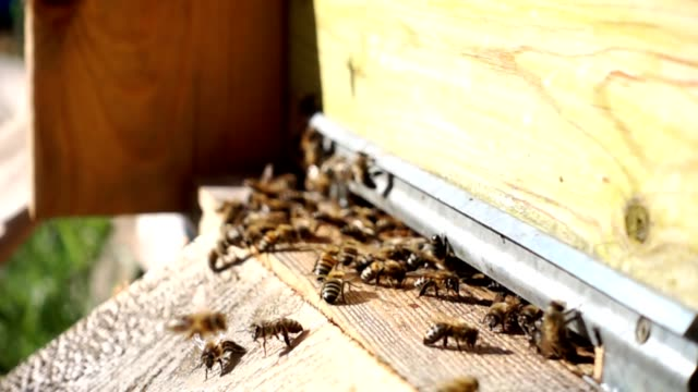 Bees go in and out the hive video