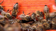 Bees in beehive close-up video