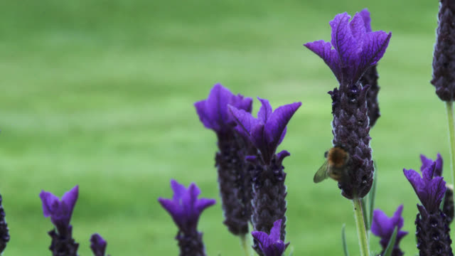 Bees landing on a purple lavender plant video
