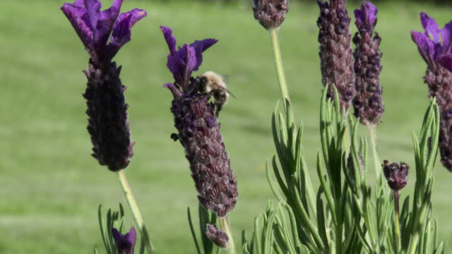 Bees landing on a purple lavender plant video