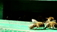 Bees near a beehive video