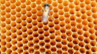 Bees on honeycells video