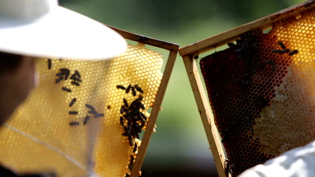 bees on honeycomb frame video