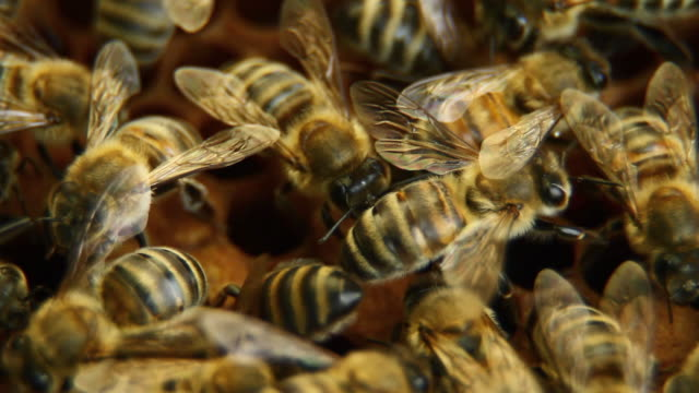 Bees on honeycomb - HD, NTSC video