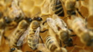 Bees on honeycomb - HD, NTSC video
