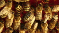Bees on honeycomb - HD video