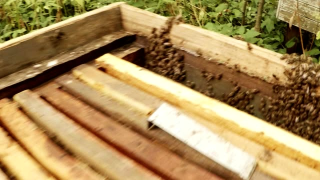 Bees on Wall of Hive Close up Hands Install Frame For Honeycombs video