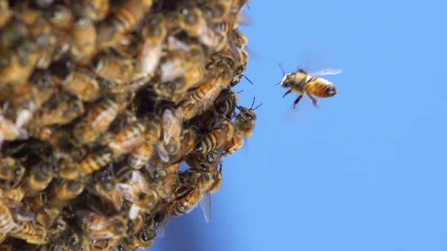 Bees Slow Motion video