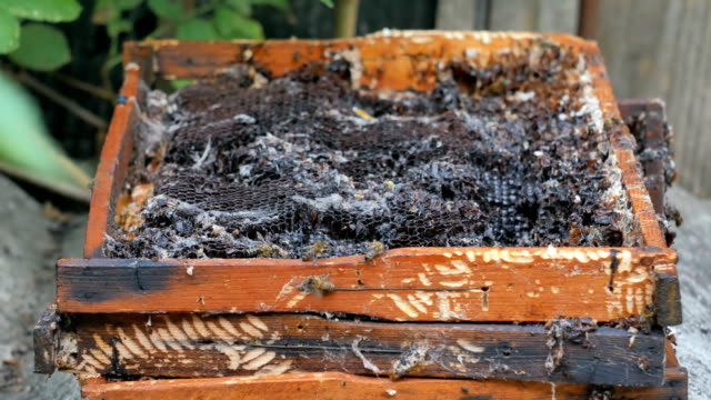 Bees take, eat honey and wax from old frames. video