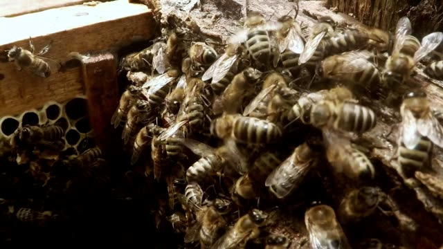 Bees Together Creep on Frame For Honeycombs in Hive Close up video