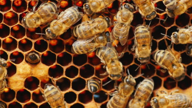 Bees work on honeycomb with honey, processed pollen in honey video