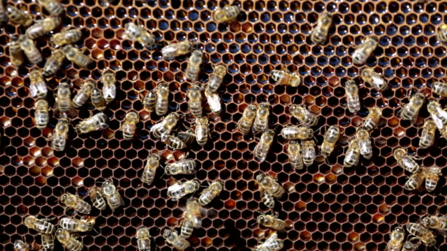 Bees working on honey cells video