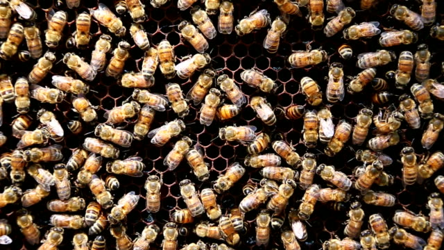 Bees working on honeycomb. video