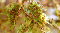 Beetle infestation -  Xanthogaleruca luteola video