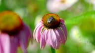 Beetle on a Echinacea flower video