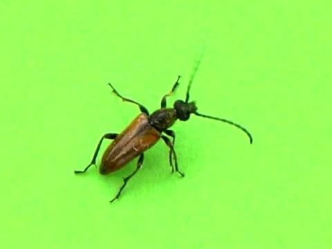 PAL: Beetle video