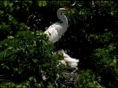 Begging Great Egret Chick video