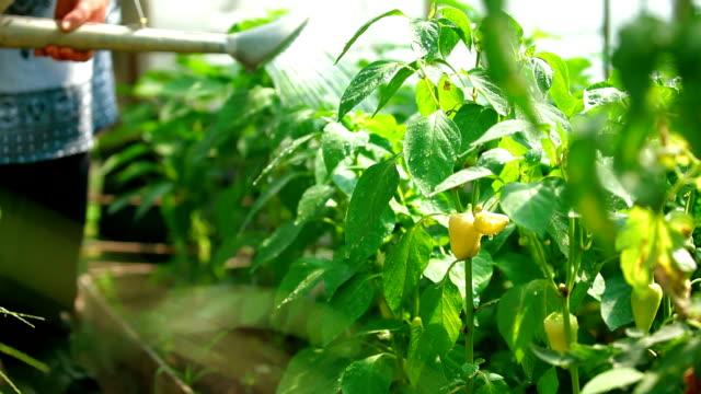 Bell Pepper Growing in a Garden video