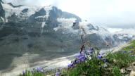 Bellflower in front of Grossglocker mountain in european alps, Austria. video