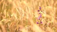 Bellflower in hay video