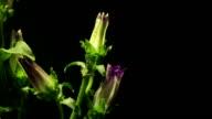 Bellflower Time-lapse video