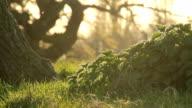 Beneath A Shady Old Oak Tree video