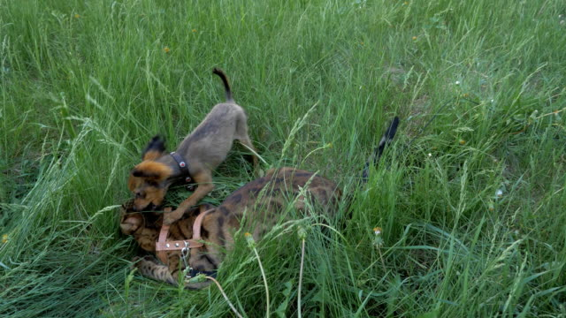 Bengal cat and dog toy terrier walks on green grass. video
