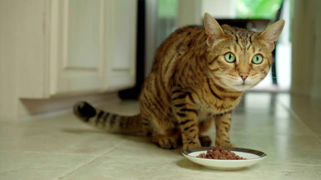 4K Bengal cat eating canned food - stock video video