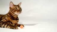 Bengal cat is playing on a white background. video