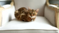 Bengal Cat Lying On The Armchair video