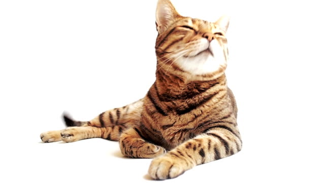 HD Bengal cat lying on the white background looking around video