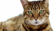 Bengal cat on white background video