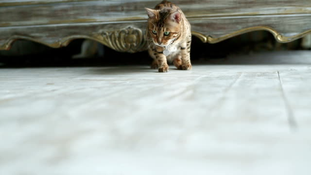 Bengal Cat Playing In The House video