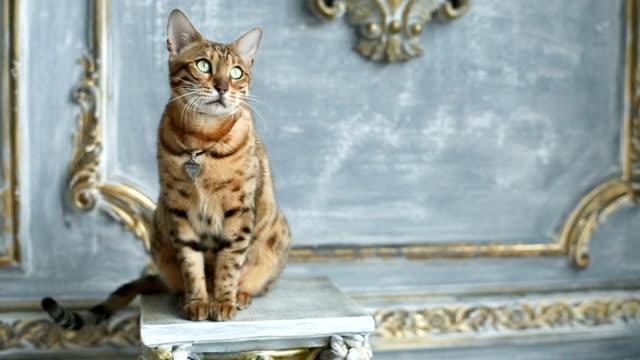 Bengal Cat Portrait - Pedigree Cat video