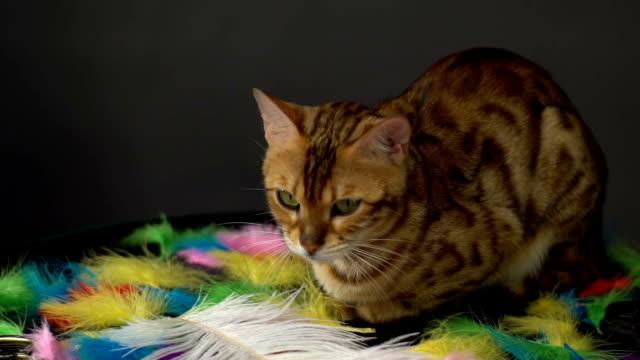 Bengal Cat Resting video