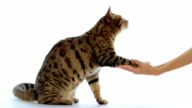 Bengal cat shaking hand with people video